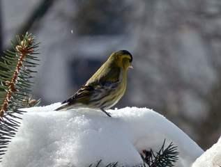 Erlenzeisig im Schnee - Erlenzeisig, Futter, Glocke, Futterglocke, Vogel, füttern, Fütterung, Finken, Fink