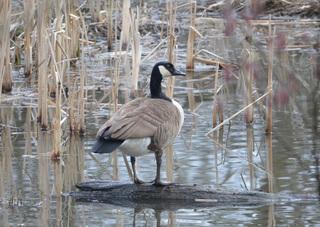 Kanadagans #1 - Vogel, Vögel, Gans, Kanada, Branta canadensis, Entenverwandte, Entenvogel, Gänsevögel, Gänse, Meergänse, Kinnband