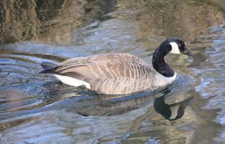 Kanadagans #2 - Vogel, Vögel, Gans, Kanada, Branta canadensis, Entenverwandte, Entenvögel, Gänsevögel, Gänse, Meergänse, KInnband