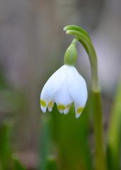 Märzenbecher - Großes Schneeglöckchen - Blüte, Blume, Frühblüher, Galanthus, Amaryllisgewächse, Samenpflanzen, Bedecktsamer, Spargelartige, Zwiebelgewächs, Narzissengewächs, Märzenbecher, Frühlingsknotenblume