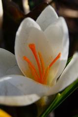 weißer Krokus - weiß, Schwertlilien, Hybriden, Frühblüher, Blume, Blüte, Bedecktsamer, Spargelartige, Samenpflanzen, Staubblätter