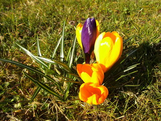 Krokus#1 - Krokus, Frühblüher, Frühling, Schwertliliengewächs, winterhart