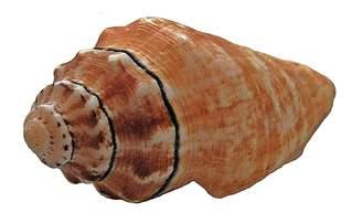 Muschel ohne Hintergrund - Muschel, Tier, Wasser, Meeresbewohner, Meer, Schneckenhaus, Spirale