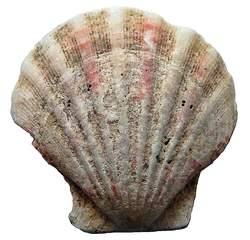 Jacobsmuschel ohne Hintergrund - Muschel, Tier, Wasser, Meeresbewohner, Meer, Symbol, pilgern, Jakobus, Jakobsweg