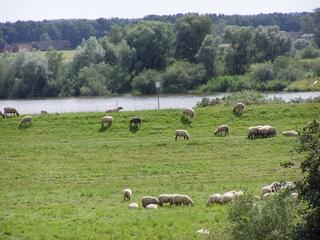 Schafherde an der Elbe - Urstromtal, Elbtalaue, Elbe, Weide, weiden, Schafe, Herde, Bewirtschaftung, Nutztierhaltung, deutsche Flusslandschaft, Fluss, Wasser, Ufer, Haustier, Wolle, Schaf, weich, Nutztier, Milch, Fleisch, Paarhufer, Wiederkäuer, Landschaftspflege
