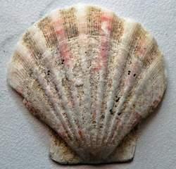 Jacobsmuschel mit Hintergrund - Muschel, Tier, Wasser, Meeresbewohner, Meer, Symbol, pilgern, Jakobus, Jakobsweg