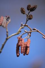 Erlenkätzchen - Schwarzerle, Alnus glutinosa, Kätzchen, männlich, Einzelblüten, weiblich, Blütenstände, dunkelviolett, Erlenzapfen, Frühling, Blüten