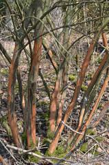 Waldschaden durch Wild - Waldschaden, Rinde, abfressen, Wild, Winter, Frühling, Hunger, Verbiss