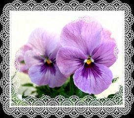 Hornveilchen Effektbild - Hornveilchen, Horn-Veilchen, Viola cornuta, Veilchen, Blüte, Blume, Zierpflanze, Gartenpflanze, Grußkarte, Effektbild