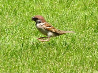 Der springende Spatz - Vogel, heimische Vögel, Spatz, Sperling, springen, braun, Schreibanlass, beobachten