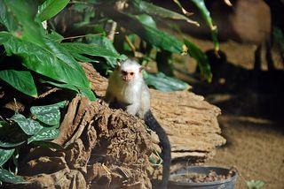 Silberäffchen #1 - Affe, Äffchen, Primat, Krallen, klein, Tier, Säugetier, Fell, klettern