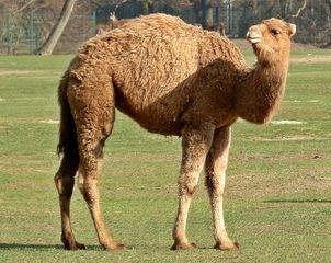 Dromedar #1 - Dromedar, Kamel, einhöckrig, Höcker, Lasttier, Reittier