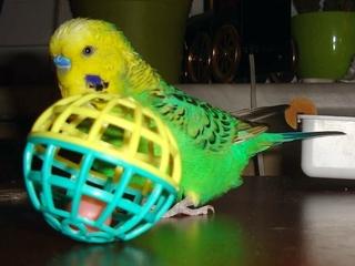 Wellensittich als Haustier - Vogel, Haustier, Liebling, Pflege, artgerechte Haltung von Tieren, Wellensittich, grün, spielen, Schreibanlass