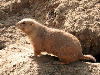 sitzendes Erdhörnchen - Erdhörnchen, Präriehund, Nagetiere, Hörnchen, Prärie, Zoo, bellen