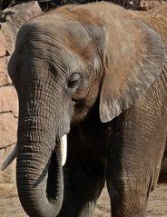 Elefantenkopf - Kopf, Stoßzahn, Stoßzähne, Elfenbein, Elefant
