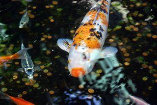 Farbkarpfen #2 - Fisch, Karpfen, Farbe, schwimmen, Koi, Farbe, farbig, Zucht