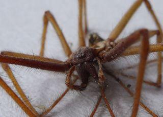 Spinnenkadaver #1 - Spinne, Schreibanlass, Gliederfüßer, Spinnentiere, Häutungstiere, krabbeln, acht, Beine, haarig, Haare, Hausspinne, Winkelspinne, Tegenaria atrica
