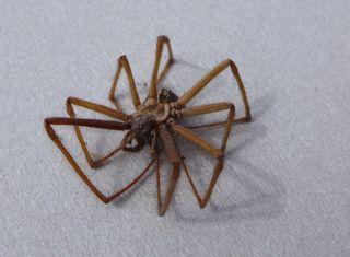 Spinnenkadaver  #2 - Spinne, Schreibanlass, Gliederfüßler, Spinnentiere, Häutungstiere, krabbeln, acht, Beine, haarig, Haare, Hausspinne, Winkelspinne, Tegenaria atrica