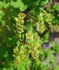 Johannisbeerblüten - Johannisbeere, Ribes, Ribisel, Träuble, Meertrübeli, Stachelbeergewächs, Beerenobst, Strauch, Laubblätter, unreif