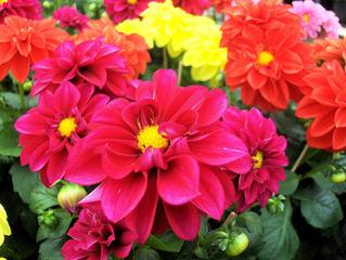 Dahlien - Blume, Blüte, Gartenpflanze, Blume, Schnittblume, Zierpflanze, Dahlie, Sommer, Korbblütler, rot, pink, gelb