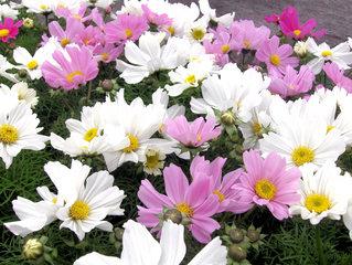Schmuckkörbchen, Kosmeen, Cosmeen - Blume, Blüte, Sommer, Pflanze, Schmuckkörbchen, Cosmos, Cosmee, Kosmee, Korbblütler, Schnittblume, Gartenpflanze, Blüten, rosa, weiß, pink