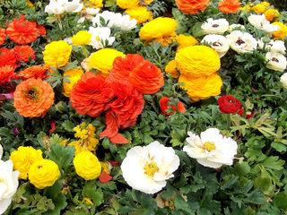 Ranunkeln - Ranunkel, Ranunkeln, Hahnenfußgewächs, Blüten, Blume, Sommer, Zierpflanze, Schnittblume, gelb, orange, rot, weiß