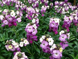 Phlox, Flammenblume - Phlox, Flammenblume, Zierpflanze, Staude, Dolden, Blüte, rosa, weiß, lila, mehrfarbig, Sommer