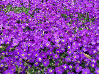 Blaukissen - Blaukissen, Kreuzblütler, Zierpflanze, Steingarten, Sommer, blau, lila, Gartenpflanze