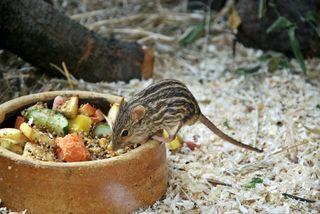 Streifengrasmaus - Maus, Mäuse, Tier, Säugetier, Haustier, Afrika, Nagetier, Streifen, Fell, klein