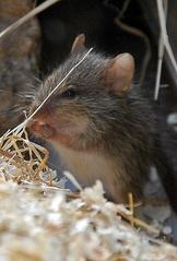 Maus - Maus, klein, Nagetier, Säugetier, Haustier, Fell, knabbern, possierlich