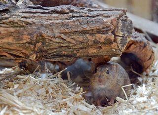 aufmerksame Maus - Maus, Säugetier, Nager, Nagetier, klein, Fell