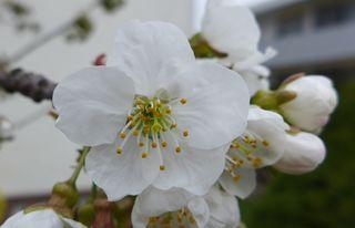 Kirschblüte #1 - Obstbäume, Natur, Garten, Blüten, Kirsche, unterständig, Staubgefäß