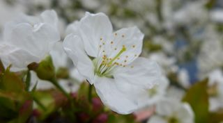 Kirschblüte #3 - Obstbäume, Natur, Garten, Blüten, Kirsche, unterständig, Staubgefäß, Stempel, Fruchtknoten