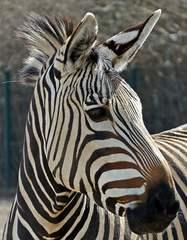 Kopf des Zebras - Zebra, Unpaarhufer, Streifen, Pferd, Mähne, Grasfresser, Zoo, Afrika, Zeichnung, schwarz-weiß, gestreift, Savanne, Tarnung, Camouflage, Auge, Kopf, Blick, Nüstern