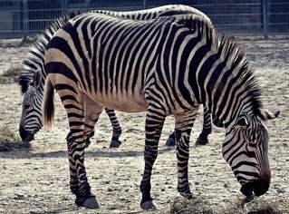 Zebras - Zebra, Unpaarhufer, Streifen, Pferd, Mähne, Grasfresser, Zoo, Gehege, Zeichnung, schwarz-weiß, gestreift, Savanne, Afrika, Zeichnung, Tarnung, Camouflage, fressen, Heu, Afrika