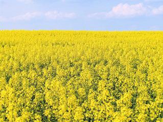Rapsfeld - Raps, Rapsblüte, Natur, Öl, Nutzpflanze, Rapsöl, Kreuzblütler, gelb, Rapsfeld, Frühling