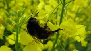 Hummel auf Nektarsuche - Hummel, Hautflügler, staatenbildendes Insekt, gelb-braun, Stachel, Drohnen, Arbeiterinnen, Königin