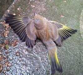 Jungvogel - Grünfink #2 - Fink, Grünfink, Vogel, flügge, Jungvogel, Sperlingsvogel, Singvogel, Carduelis chloris