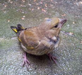 Jungvogel - Grünfink #1 - Fink, Grünfink, flügge, Vogel, Jungvogel, Sperlingsvogel, Singvogel, Carduelis chloris