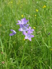 Glockenblume - Wiese, Glockenblume, Wiesenglockenblume, sonnenwendig, Lichtpflanze