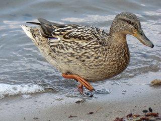 Stockente Weibchen - Ente, Stockente, weiblich, Weibchen, Schwimmente, Wildente, Feder, Federn