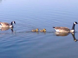 Kanadagänse mit Küken_ Bild 1 - Kanadagans, Gänse, Gans, Küken, Aufzucht, Brut, Nachwuchs, Vogel, schwimmen, Familie