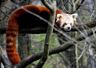 Roter Panda - Raubtier, Säugetier, klettern, Tier, Fell, Panda, geschützt, bedroht
