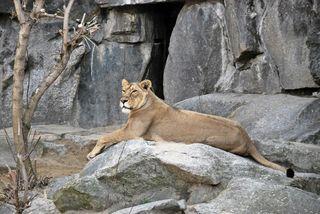 liegende Löwin - Löwe, Löwin, Säugetier, Tier, Raubtier, Fleischfresser, Großkatze, Katze, Wildtier, weiblich, Weibchen, wild, liegen, Lion, Leo