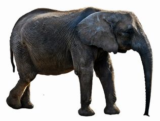 Elefant-Umriss-Vorlage - Elefant, Afrika, Dickhäuter, schwer, Rüssel, grau, runzlig, Runzel, Falte, faltig, stark, stehen