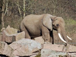 Elefant mit Vogel - Elefant, Afrika, Dickhäuter, schwer, Rüssel, grau, Stoßzahn, Elfenbein, runzlig, Runzel, Falte, faltig, stark, Vogel, Zoo, Gehege, Tierpark