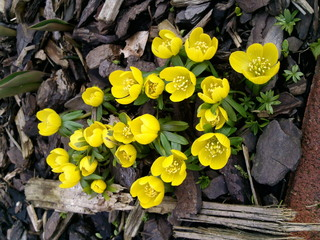 Winterling - Eranthis hyemalis, Frühjahrsblüher, Frühling, gelbe Blüte
