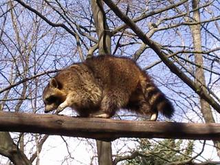 Waschbär - Neozoon, nachtaktives Raubtier, Waschbär, Wildtier, Zootier, Säugetier, Kleinbär, Raubtier, Fell, Tatzen