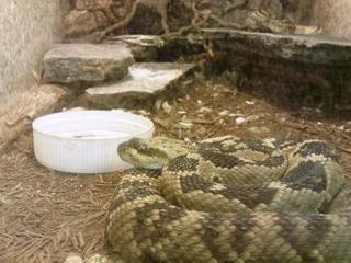 Schwarzschwanz - Klapperschlange - Klapperschlange, Schlange, giftig, Schuppen, Schwanz, Haut, Hautoberfläche, Muster, schlängeln, Reptil