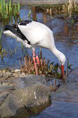 Storch - Storch, Weißstorch, Adebar, Schreitvogel, Zugvogel, Zugvögel, Federn, weiß, schwarz, schwarz-weiß, Schnabel, Wasser, Teich, Nahrungssuche, Futter, Futtersuche